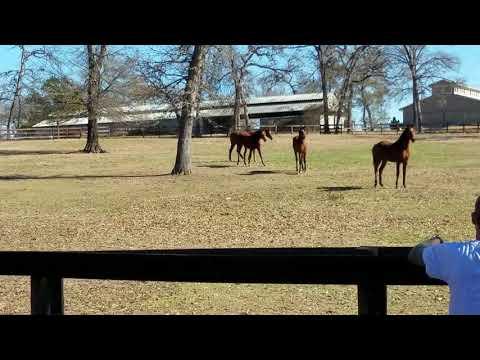 Arabian yearlings at Michael Byatt Arabians