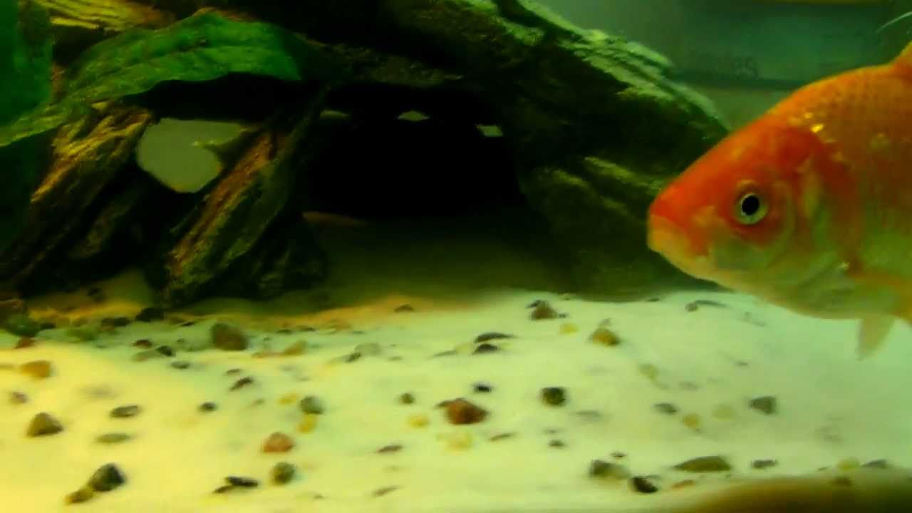 Freshwater aquarium fish loach - Cold Water Planted Goldfish And Dojo Weather Loach Freshwater Tank Youtube
