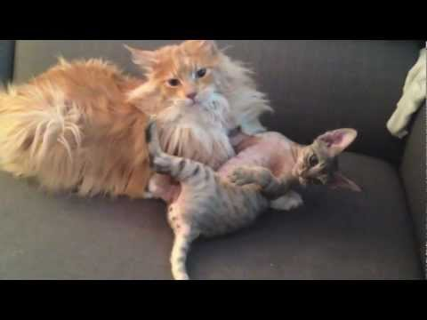 Cat wrestling: Maine Coon vs Devon Rex