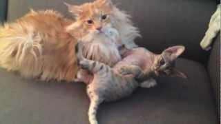 Cat wrestling: Maine Coon vs Devon Rex