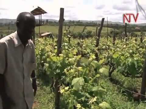 Agriculture feature: Pioneering Grape farming