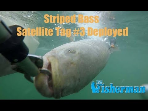 Mission Montauk - Northeast Striped Bass Study Tag #3 Is Deployed!