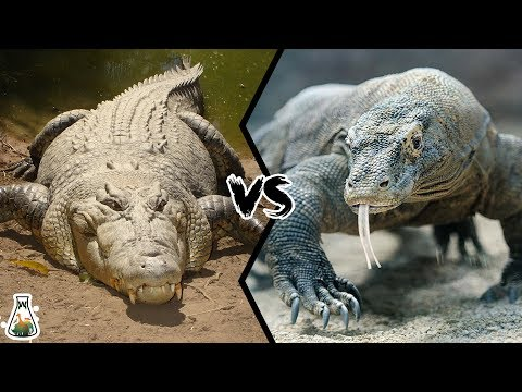 CROCODILE VS KOMODO DRAGON - Which Is The Strongest?