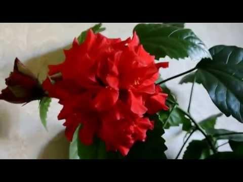 Гибискус (Китайская роза) Surprising Hibiscus Flower
