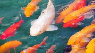 Download Lagu 4 Jenis Ikan Hias Air Tawar Pembawa Keberuntungan (Hoki) mp3