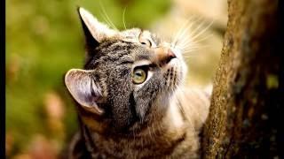Порода кошек .Американская жесткошерстная кошка выведенная в США.Описание, и факты о питомце.