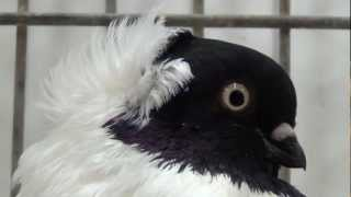 german nun (fancy pigeon)