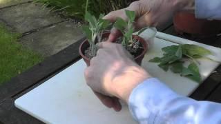 Amateur Gardening: Sage Cutting Tips