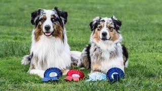 Amazing dog tricks by australian shepherds Airin & Charlie