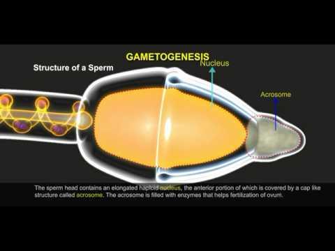 Gametogenesis 512 1
