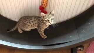 F3c Savannah Kitten running on his cat wheel
