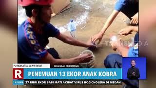 Penemuan 13 Ekor Anak Kobra  Redaksi Sore 131219