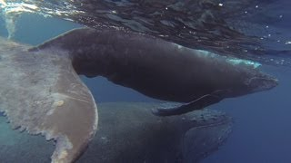 GoPro: Cruising with Humpback Whales