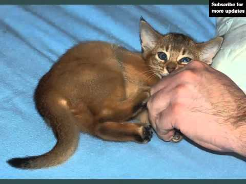 Silver Abyssinian Cat   Pictures Of Cat Breed