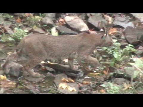 Illinois Bobcat