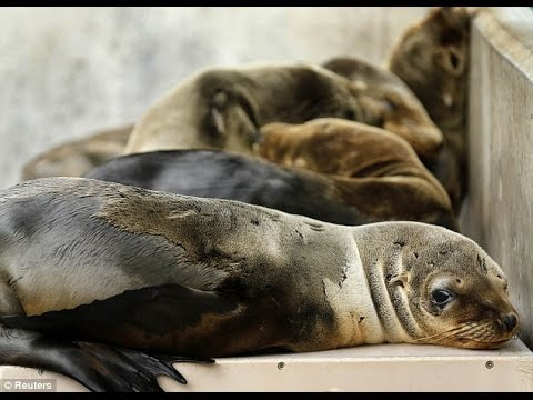 Mystery of the sick and starving sea lion pups: Hundreds rescued from California coast