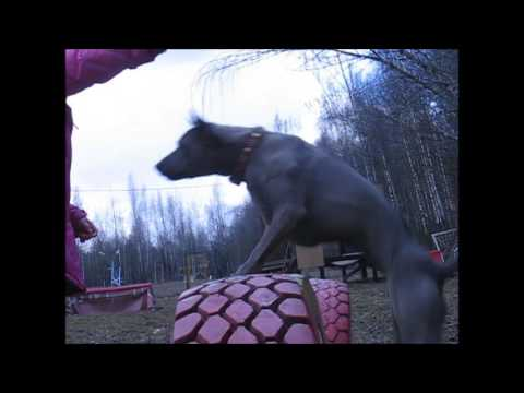 Thai Ridgeback dog Тайский риджбек собака Тая