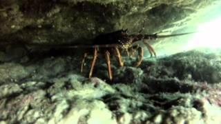 Crayfish C31