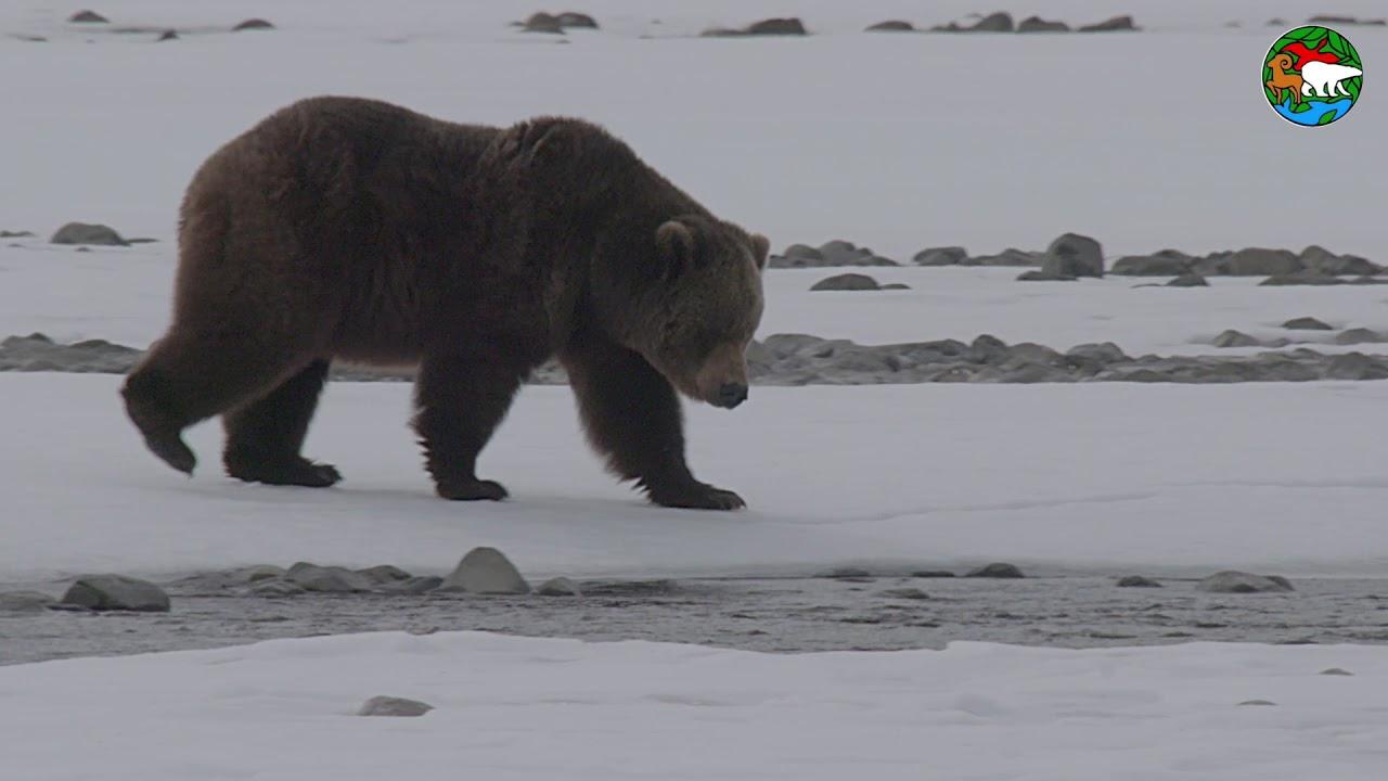 По соседству с медведем. Плато Путорана / In the Neighbourhood with a Bear