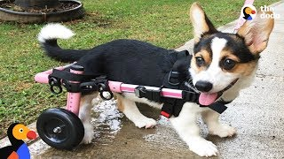 Paralyzed Corgi Never Stops Smiling | The Dodo