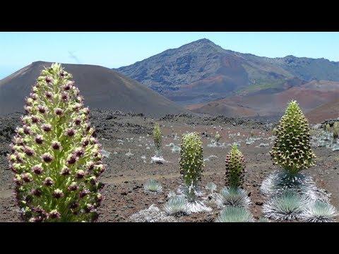 神秘植物60年才开一次花,最高达到1.8米,只生长在火山附近!
