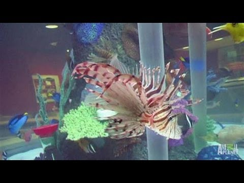 Cowfish Restaurant Custom Aquarium | Tanked