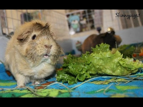 Vegetables For Guinea Pigs: Daily Diet Amount