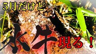 次のオススメ動画 カブトムシの幼虫を捕まえよう! https://youtu.be/vm...
