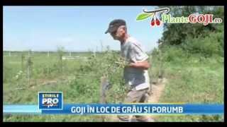 Plante Goji Afacere cu Fructe Goji