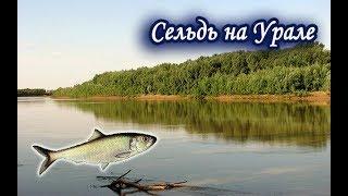 Сельдь Каспийская на Урале. Русская Рыбалка 3.99.