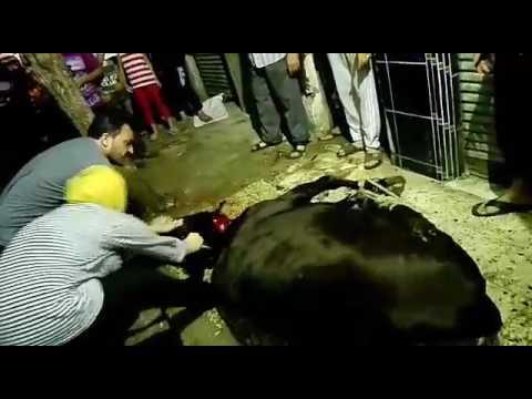 فتاة مصرية تذبح عجل بالأسكندرية Youtube