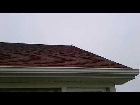 Northern Mocking Bird in Nova Scotia mimicking other bird calls ...