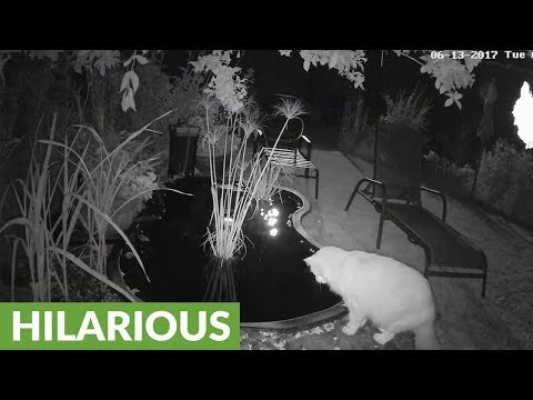 Fish startles cat drinking from backyard pond