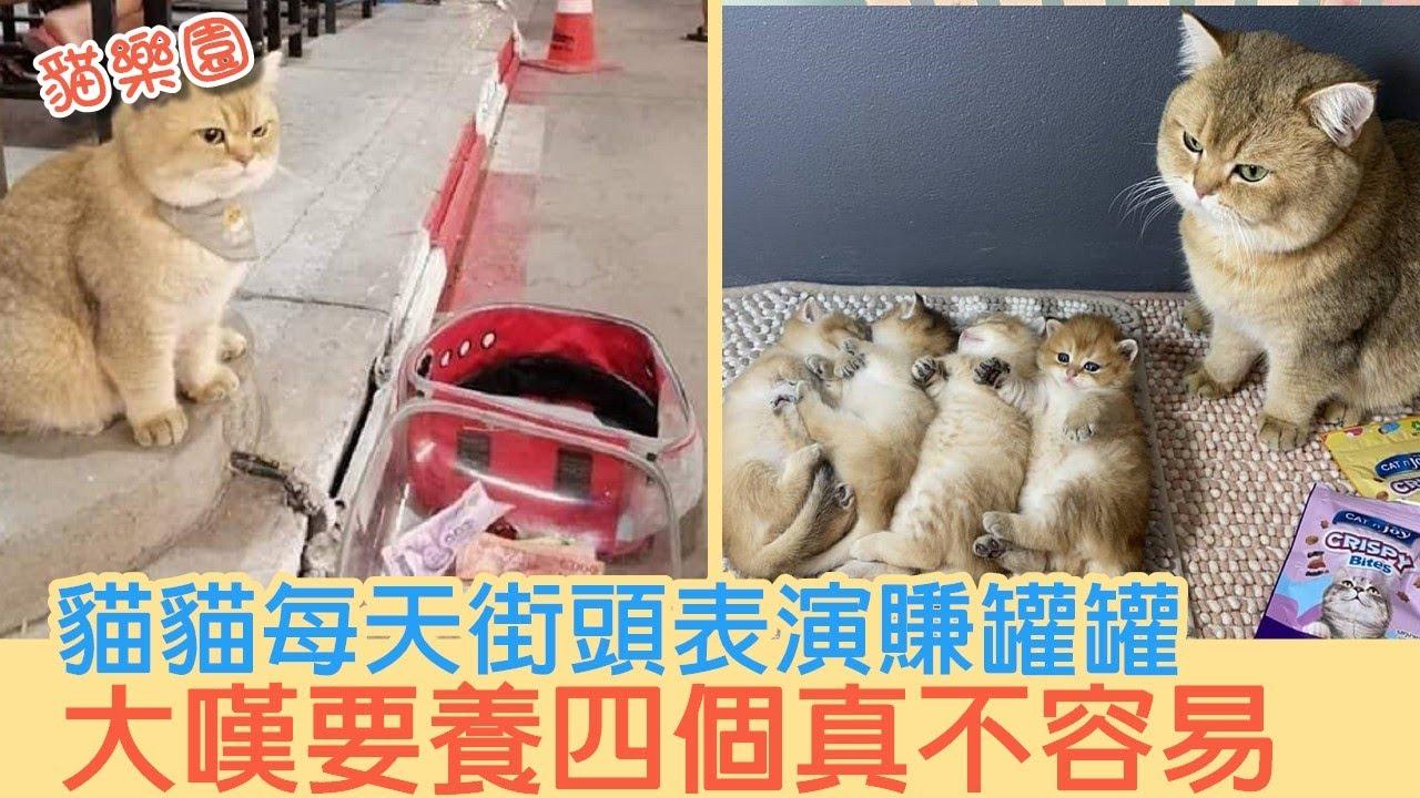 貓貓每天街頭表演賺罐罐 大嘆要養四個真不容易   貓樂園