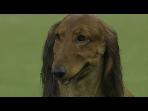 """""""King"""" wins the 143rd Westminster Dog Show"""