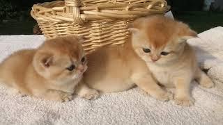 Продажа котят. Золотая шиншилла