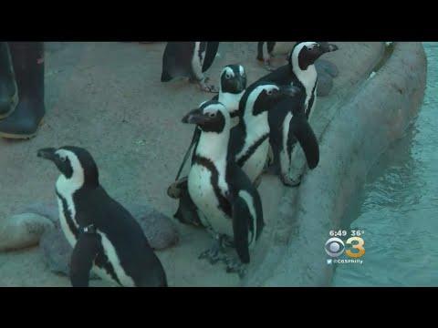 Newly Renovated Penguin Park Exhibit Opens Saturday At Adventure Aquarium