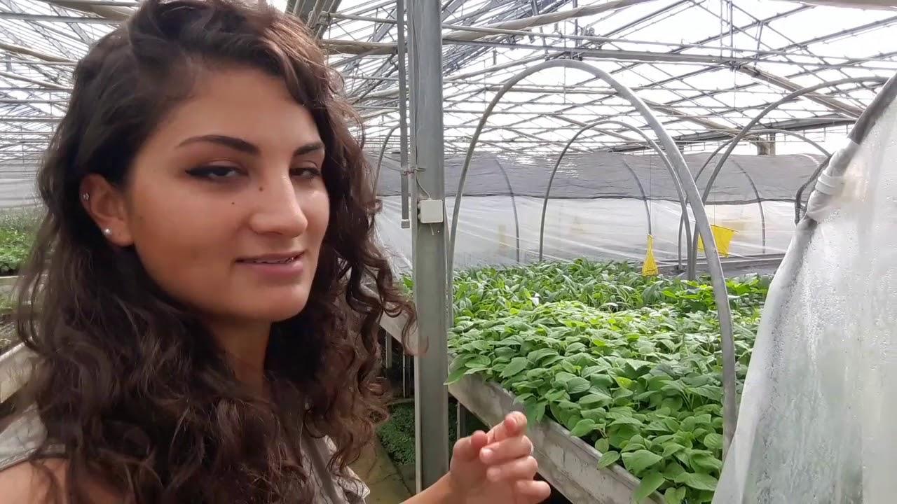Micropropagazione del kiwi ecco le nuove piante da frutto for Piante da frutto kiwi