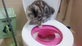 Приучаем Курильского бобтейла к туалету/ Котенок Нора/ Kurilian Bobtail