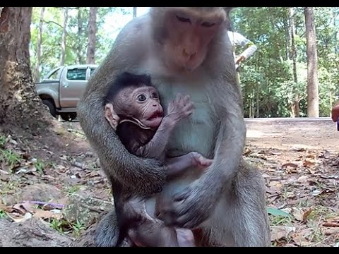 Very young monkey mom breastfeeding her baby