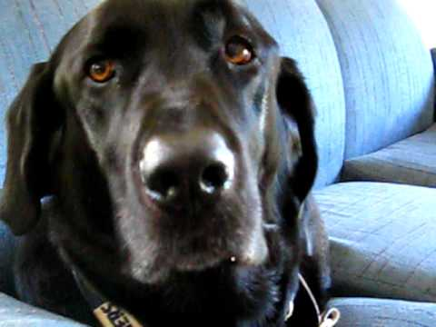 Cute black lab talking