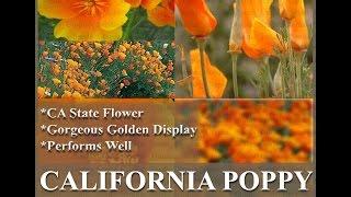 CALIFORNIA ORANGE POPPY, Eschscholzia californica FLOWER SEEDS on  www.MySeeds.Co