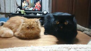 ペルシャ猫のコジ・コジとエキゾチックのエキゾー。 特に珍しい芸も持ち...