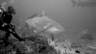 Beqa lagoon shark feed