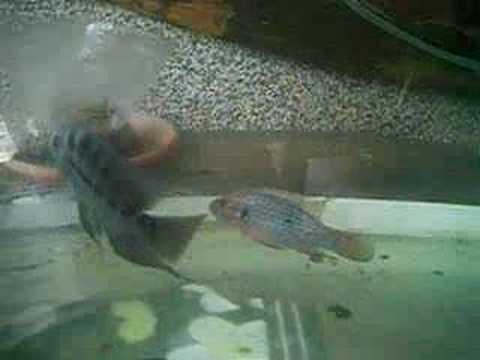 flowerhorn versus jewel cichlid fight