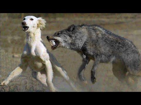 Неожиданная встреча волка с собакой потрясла весь мир. То что произошло потом, просто невероятно!