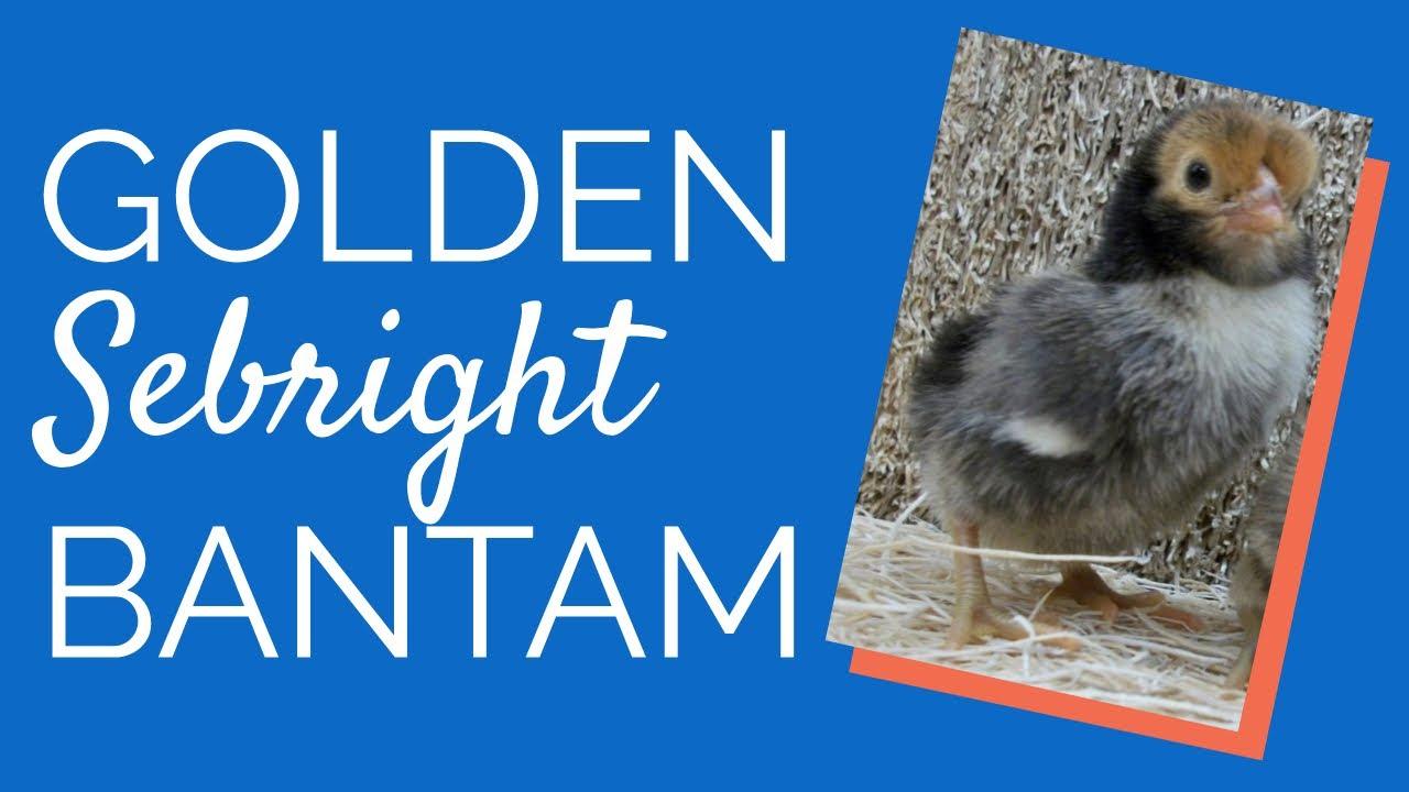 golden sebright bantam by chickens for backyards youtube
