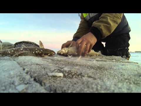 как приготовить сига на рыбалке