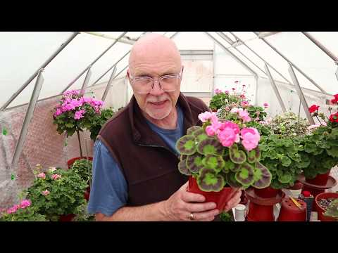 The Types Of Pelargoniums That I Grow - Part One
