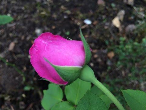 Boutons de la Rose 'Mme Isaac Péreire' Le bonbon Bourbon sent bon